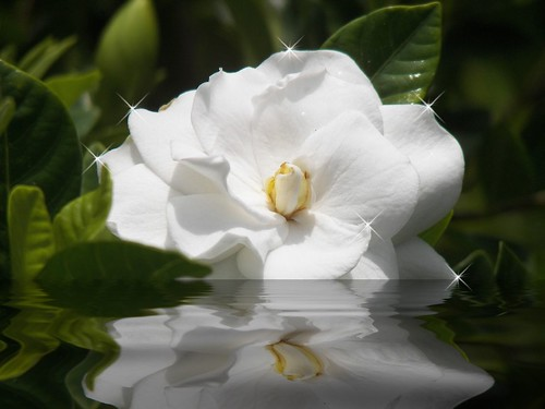 Soft...silky..so white, gardenia by ClaraDon