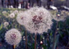 (icono) Tags: spring dandelion  supershot