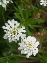 Iberis sempervirens (maggie_and_her_camera) Tags: