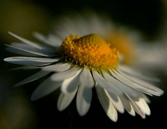 close up daisy.......... (Gale's Photographs) Tags: flower nature yellow wales d50 nikon nikond50 daisy soe 2x4 floraandfauna supershot mywinners impressedbeauty bbcwalesnature