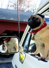 "Olive says, ""I can't wait to get my license!"" (blamstur) Tags: dog olive pug parvo roadtrek 15challengeswinner"