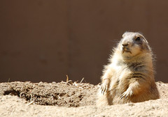 Prairie Dog on patrol, Smithsonian National Zoological Park (Steve W Lee) Tags: desktop dog mouse mammal zoo rodent washingtondc ferret meerkat squirrel rat screensaver beaver chipmunk nationalzoo prairiedog prairie grasslands rockcreekpark chipmunks desktopbackground desktopphoto bucktoothed chipndale buckteeth burrowing bucktooth nationalzoologicalpark incisors smallmammal blacktailedprairiedog cynomys mousedog smallmammalhouse smithsoniannationalzoologicalpark smithsonianzoo washingtondczoo rockcreekparkwashingtondc dramaticchipmunk barkingsquirrel prairiemon
