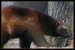 Wolverine (lorainedicerbo) Tags: animal zoo michigan detroit wolverine royaloak detroitzoo loraine dicerbo notauofmplayer lorainedicerbo