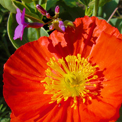 Orange poppy caressed (8) macro