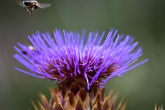 Thistle Thursday3