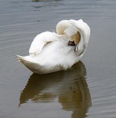 Grooming Swan 4 (Chrissie28IWish! ~ hubby passed away 5th Dec peace) Tags: white bird water swan wings grooming naturesfinest whitecream ornith htwoo