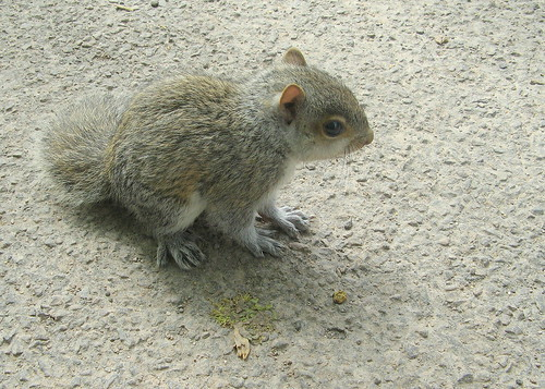 Baby Squirrel, Winchester 3 by suvodeb