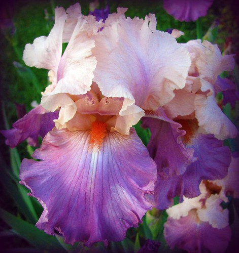 Pink and Purple Iris