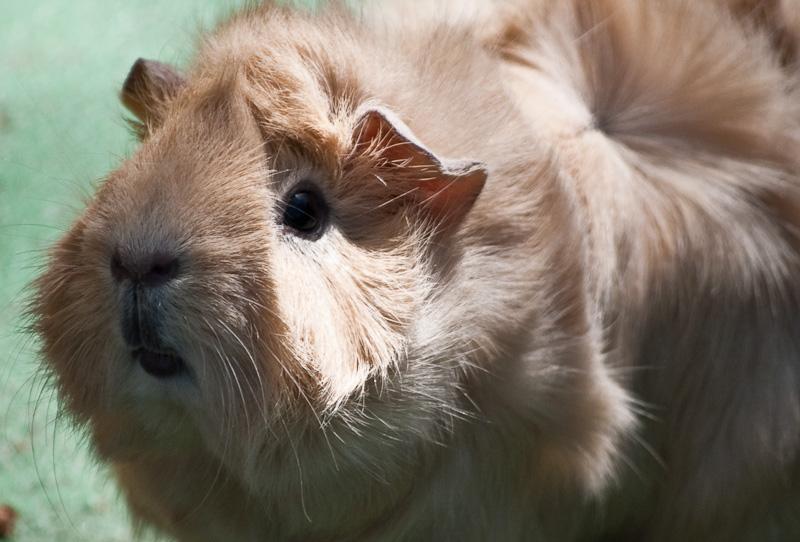guinea pigs_8128