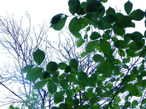 Ulmus glabra - Orme montagnard= Ulmus glabra - Botanique Marthod 018