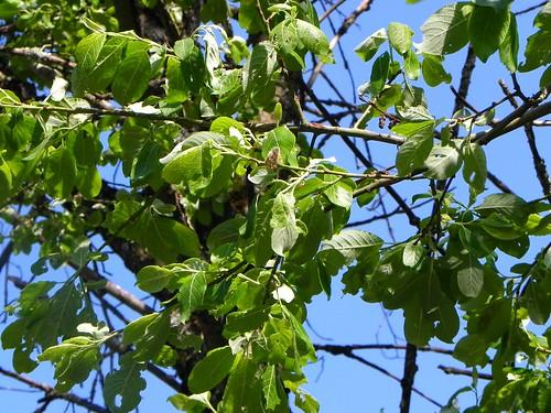 Salix caprea=Saule Marsault - Botanique Marthod 023