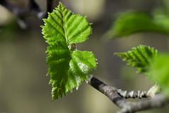 Spring Leaf-2 (DanneMartensson) Tags: macro green nature leaf spring branch sweden sony natur blad birch bjrk makro leafs betula vr gren grn a55 utomhus sal100m28 lvtrd