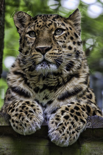 Amur Leopard at Marwell