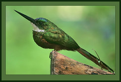 Rufous-tailed Jacamar (Galbula ruficauda) male -view large (Rainbirder) Tags: rufoustailedjacamar galbularuficauda coth5 mygearandme mygearandmepremium mygearandmebronze mygearandmesilver mygearandmegold mygearandmeplatinum mygearandmediamond