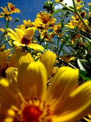 yellow meets blue (gatoqueso) Tags: blue sky cloud flower yellow soe shieldofexcellence