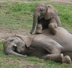 Baby elephant Impunga sits up _n his big brother Vus'musi, they are best friends.