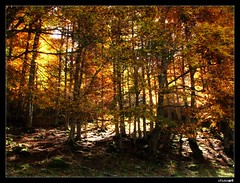 Bosque pirenaico (chusoart) Tags: autumn red espaa spain rojo bosque otoo catalua pirineos lleida valledearan viella lerida canonpowershots3is ~wevegotthepower~