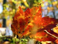 maple leaf moss