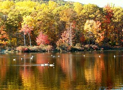 Geese in Watery Reflection (Stanley Zimny) Tags: autumn trees red orange reflection fall nature water colors leaves yellow geese pond says reflexions vivinha onlythebestare mirrorser