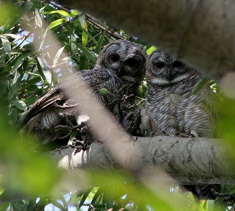 Two Mottled Wood Owls framed by branches