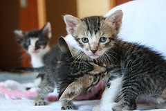 The Boyz! (fofurasfelinas) Tags: cats kitten tabby kitty kittens gatos gato neko adoption fofurasfelinas gohan kalel catphotography kissablekat platinumphoto felinephotography gianeportal furryfelines fotografiadegatos fotografiafelina