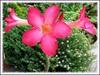 Adenium obesum (Desert Rose, Mock Azalea, Impala Lily, Sabi Star, Kudu)