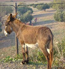 Donkey Olive 210