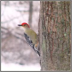 Red-Bellied Woodpecker (Through Joanne's eye) Tags: tree bird birds wings woodpecker feathers redhead redbelliedwoodpecker onlythebestare photofaceoffwinner pfogold