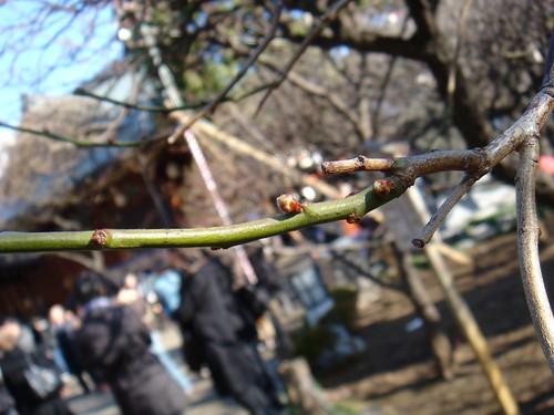 Yushima plum buds