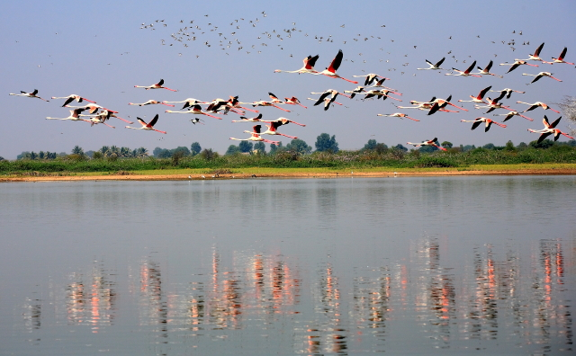 flight of flamingos-1...