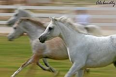 Horse (YOUSEF AL-OBAIDLY) Tags: horse soe teacheryousef يوسفالعبيدلي