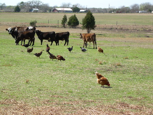 Cows and chickens