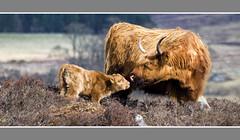 Highland cattle (Craig Robertson) Tags: scotland cow cattle highlandcattle aplusphoto