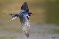 1 (N-S-S) Tags: bird birds nikon sigma 300mm 28 kuwait nikkor  vr nasser  nss   vwc         kvwc   alsolihem