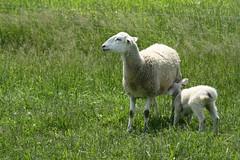 Pasture lambing