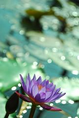 Lotus 5 @ roofgarden (roofgarden) Tags: flower green nature nikon purple lotus penang d60 blueribbonwinner 50faves flickraward specialpictures
