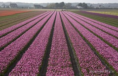 Holland (Rolandito.) Tags: europe netherlands nederland paysbas pays bas niederlande holland tulip field tulips flower flowers tulpen tulpenfeld blumen blumenfeld bloemen fleurs tulipins