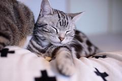 DSC_4248 (catfish.boogie) Tags: nikond750 nikkor50mmf18g japan hokkaido cat