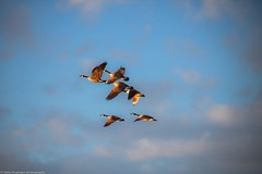 Early Spring. (kmac1960) Tags: canon tamron flight shawneemissionpark blue sky flock outdoors
