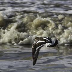 2017_02_19-H11_20_58-N°5946-1 (HelpyLP) Tags: tournepierre collier oiseau mer arenaria interpres