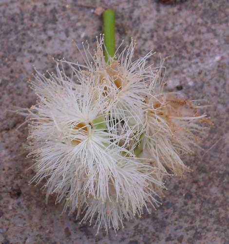 Syzygium_grande-flower02.jpg