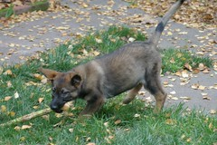 The Wrestler (cwgoodroe) Tags: dog color cute fall home tongue closeup ball puppy oakland furry puppies shepherd teeth watching guard fluffy ears canine running run german floppy cuddle stick chew gnaw germanshepherd attention ran trot guarding k9 observant gsd cutepuppy alet sephard germanshepherdeyes