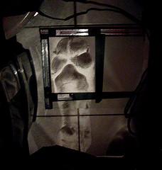 darkroom:. i  film (saikiishiki) Tags: blue dog white black love film darkroom dark grey paw room gray negative projection weimaraner coolpix enlarger  easel  weim greyghost  squidoo weimie hairypaw anjitillemans weimaranerpaintingcom weimaranerart starpaw weimaranerpaw chanhispaw  waimarana weimaranerartist weimaranerphotography weimaranerphotographer saikiishiki