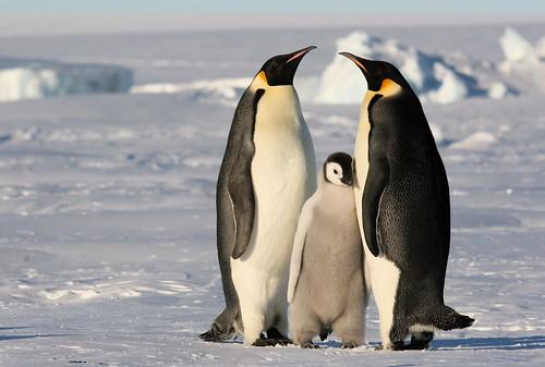 Tại sao một số loài chim như Kiwi, chim cánh cụt, đà điểu châu Phi … lại không thể bay được?