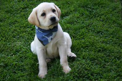 Labrador yellow puppy posing