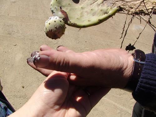 кошеніль на кактусі