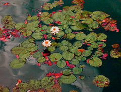 Lillies and Clouds (joehall45) Tags: cloud lake fall water leaves lily excellenceinfloralphotography masterphotos defendersmacroandcloseup betterthangood excellentsflowers natureselegantshots