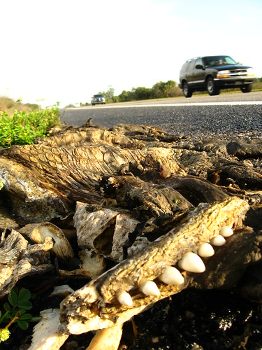 Alligator roadkill near Gatorama, Palmdale, Florida, USA