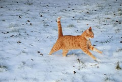 Just like a cheetah... (Miss Claeson) Tags: winter snow cat nikon play sweden running dalar d80 nikond80 oreengeness