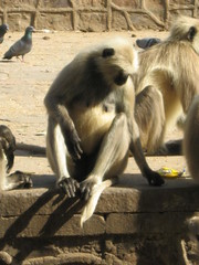 Langurs at play (Two little Shutterbugs) Tags: ranthambhore